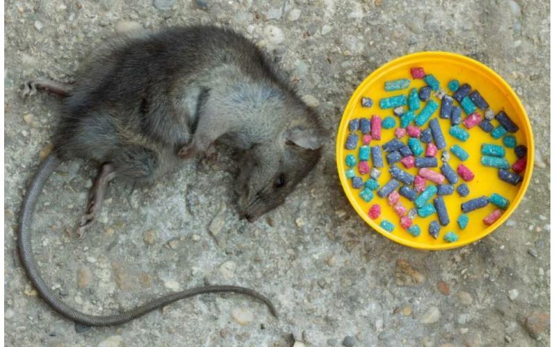 Evdeki fareden nasıl kurtuluruz? Fare yakalama yolları